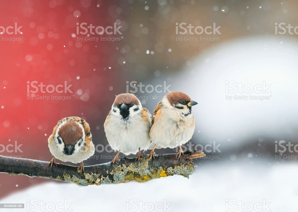 funny birds funny arguing in a Park during a snowfall stock photo