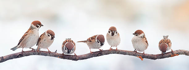 funny birds sparrows sitting on a branch on the panoramic stock photo
