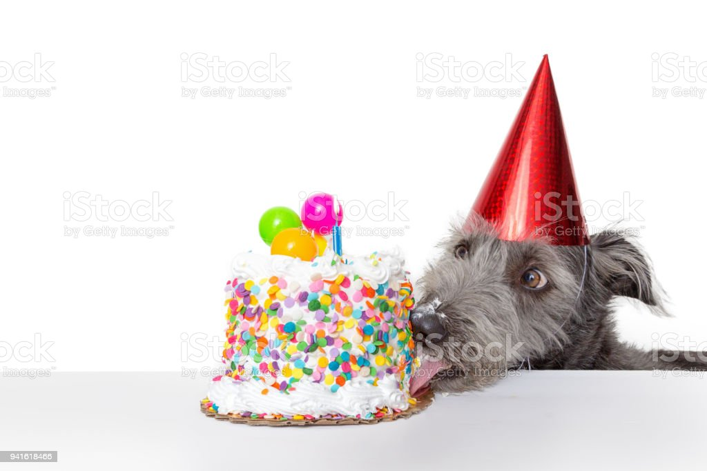 Funny Birthday Dog Eating Cake Stock Photo More Pictures Of Animal