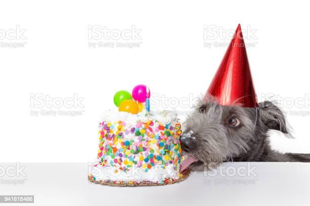 Funny birthday dog eating cake picture id941618466?b=1&k=6&m=941618466&s=612x612&h=jx0jquf 4fhxrgv7emo5ja1zp7rq7jpafkexe1hgi8i=