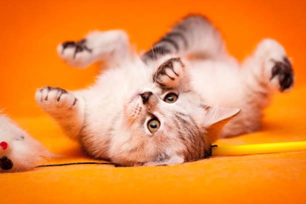Funny black and white British kitten lying upside down stock photo