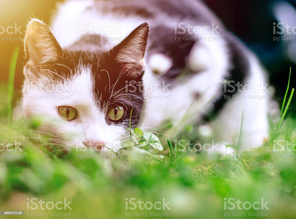 funny black and white cat hunting in the grass under the trees zbiór zdjęć royalty-free
