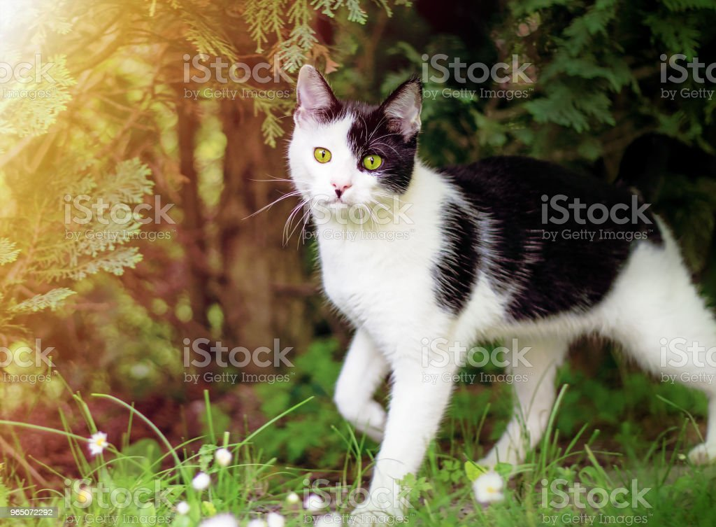 funny black and white cat in grass under the trees royalty-free stock photo