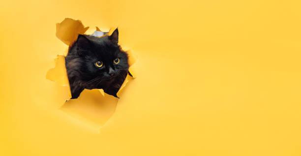 Funny black cat looks through ripped hole in yellow paper naughty picture id1170665212?b=1&k=6&m=1170665212&s=612x612&w=0&h=luis3ldtc17fqx5yc3gewd4oe odo3sj gtt9jruthu=