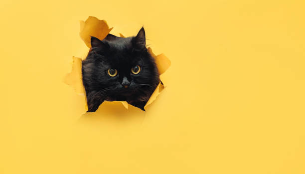 funny black cat looks through ripped hole in yellow paper. peekaboo. naughty pets and mischievous domestic animals. angry look. - cat стоковые фото и изображения