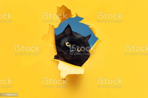 Funny black cat looks through ripped hole in yellow paper peekaboo picture id1170665203?b=1&k=6&m=1170665203&s=612x612&h=thszhcyn5agfrbx yhwl7rgtzarwc6vjgaxedidq58o=
