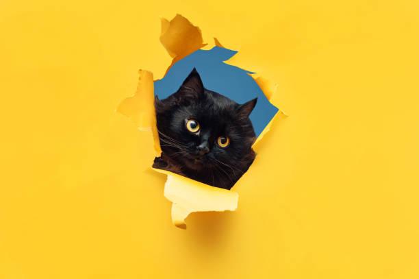 Funny black cat looks through ripped hole in yellow paper peekaboo picture id1170665203?b=1&k=6&m=1170665203&s=612x612&w=0&h=iogb3 uieengigvj9w1taltl60s qsntqpi od1sppm=
