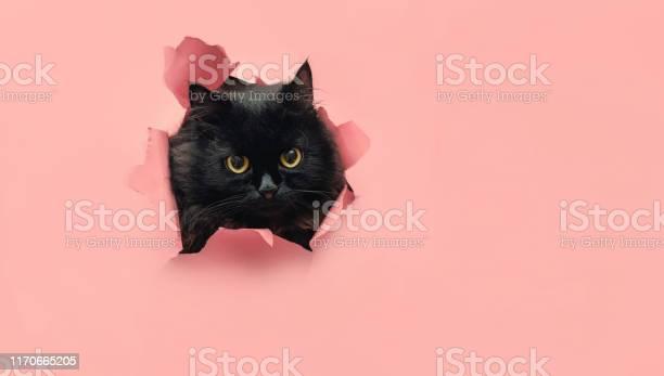 Funny black cat looks through ripped hole in yellow paper peekaboo picture id1170665205?b=1&k=6&m=1170665205&s=612x612&h=xj5phylnr4y0k1euomun h25ja gb4qmte2qhhhswxu=