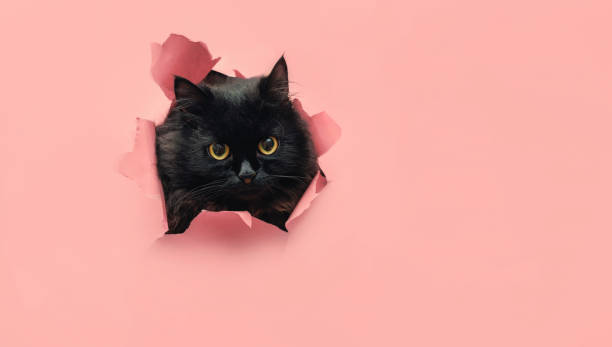 Funny black cat looks through ripped hole in yellow paper. Peekaboo. Naughty pets and mischievous domestic animals. Copy space. Funny black cat looks through ripped hole in pink paper. Peekaboo. Naughty pets and mischievous domestic animals. Copy space. Yellow eyes. black cat stock pictures, royalty-free photos & images
