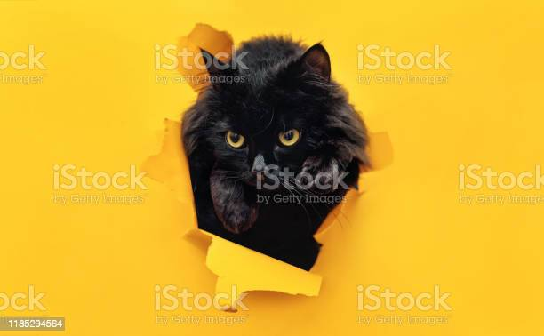 Funny black cat looks through ripped hole in yellow paper peekaboo picture id1185294564?b=1&k=6&m=1185294564&s=612x612&h=wdasfjlcfrsmfcfc4mhrwlfiuzqvg3wdl3wfa6zgu8m=