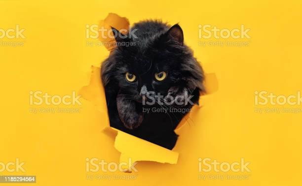 Funny black cat looks through ripped hole in yellow paper peekaboo picture id1185294564?b=1&k=6&m=1185294564&s=612x612&h=wdasfjlcfrsmfcfc4mhrwlfiuzqvg3wdl3wfa6zgu8m=