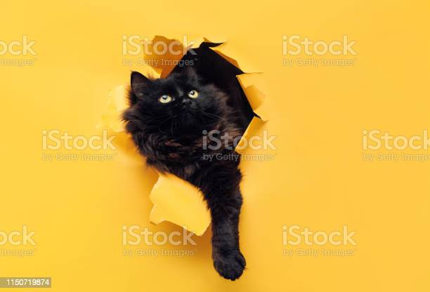 Funny black cat ripped yellow paper and looking up cat game picture id1150719874?b=1&k=6&m=1150719874&s=612x612&h=3f kr9qyjsmkusdb6fo7ssju tbdzqzpraz3ppvj1lu=
