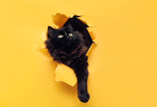 Funny black cat ripped yellow paper and looking up. Cat game. Funny black cat ripped yellow paper and looks up. Copy space. undomesticated cat stock pictures, royalty-free photos & images