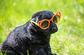 Funny black Labrador retriever puppy gazes through the sunglasses. Dog sitting on the grass in the summer garden