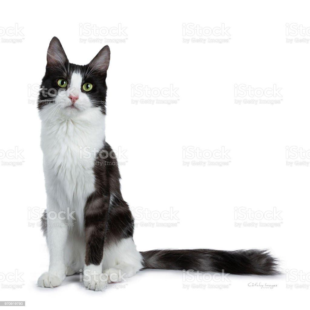 Funny Black Smoke With White Turkish Angora Cat Sitting On White