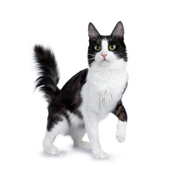 Funny black smoke with white turkish angora cat standing isolated on picture id970919768?b=1&k=6&m=970919768&s=612x612&w=0&h=by9pbsiqeokwkwxbilxmp m7gc0acbkvifpy2ppzvhc=