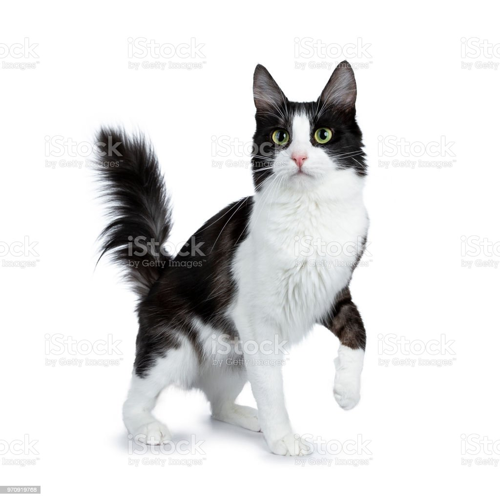 Grappige zwarte rook met witte Turkse Angora kat staande geïsoleerd op een witte achtergrond met staart in de lucht en één poot opgeheven foto