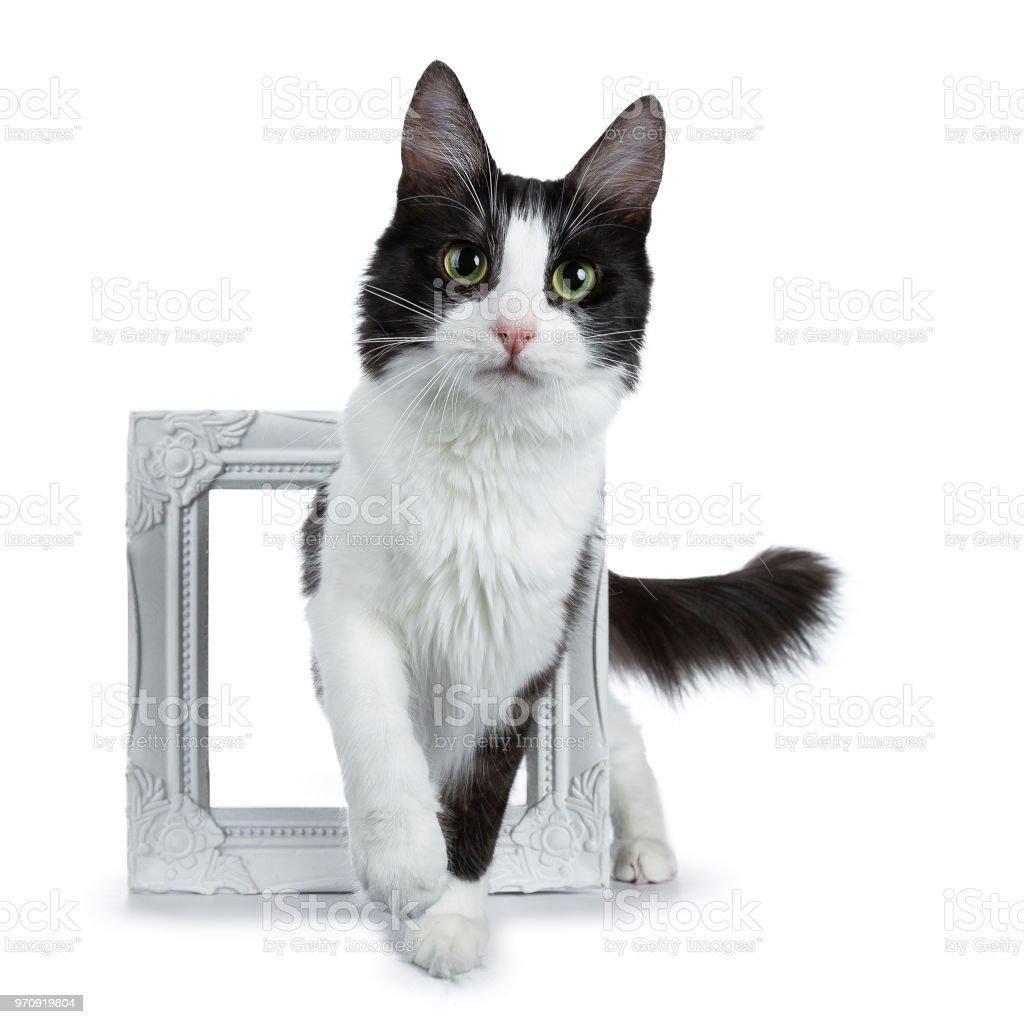 Funny Black Smoke With White Turkish Angora Cat Walking Through A ...