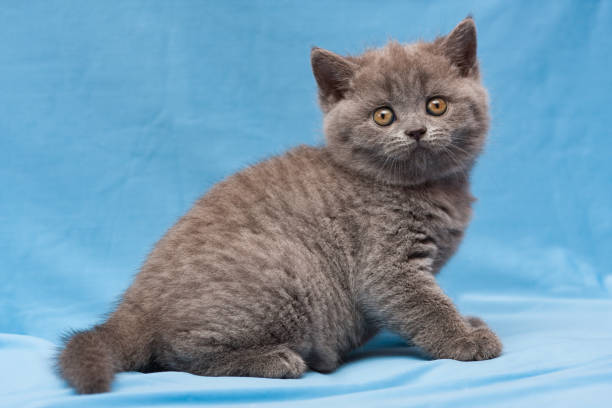 Funny blue British kitten sitting on a blue background stock photo