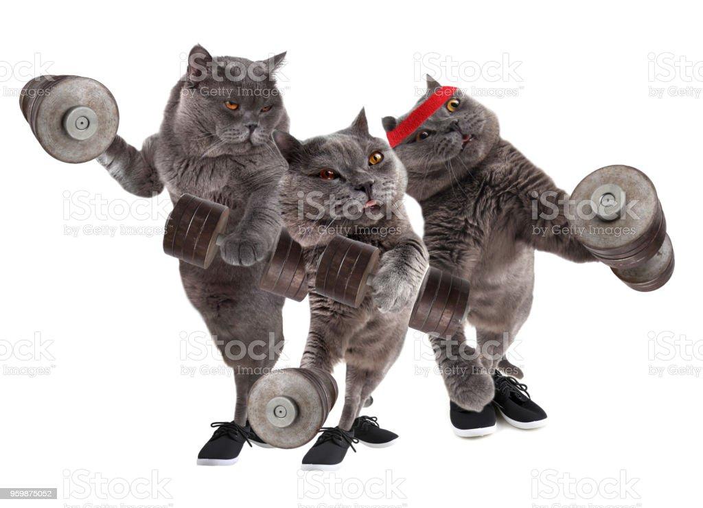 Funny bodybuilder cats stock photo