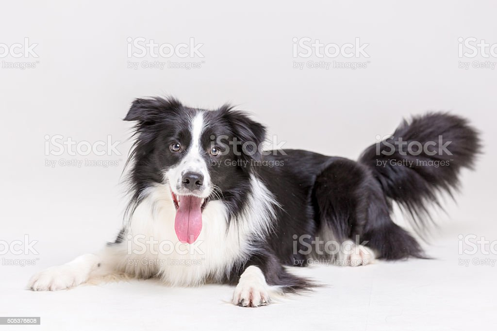 Funny Border Collie Dog stock photo
