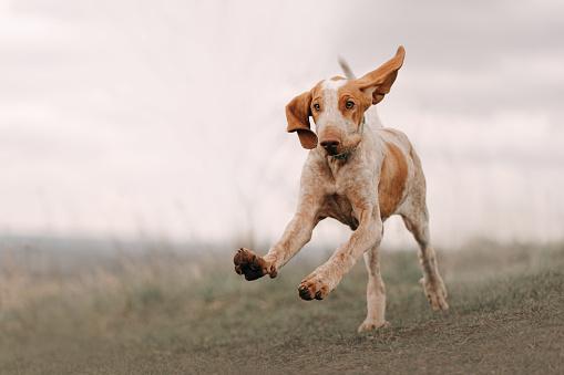 bracco italiano puppy running outdoors on a field
