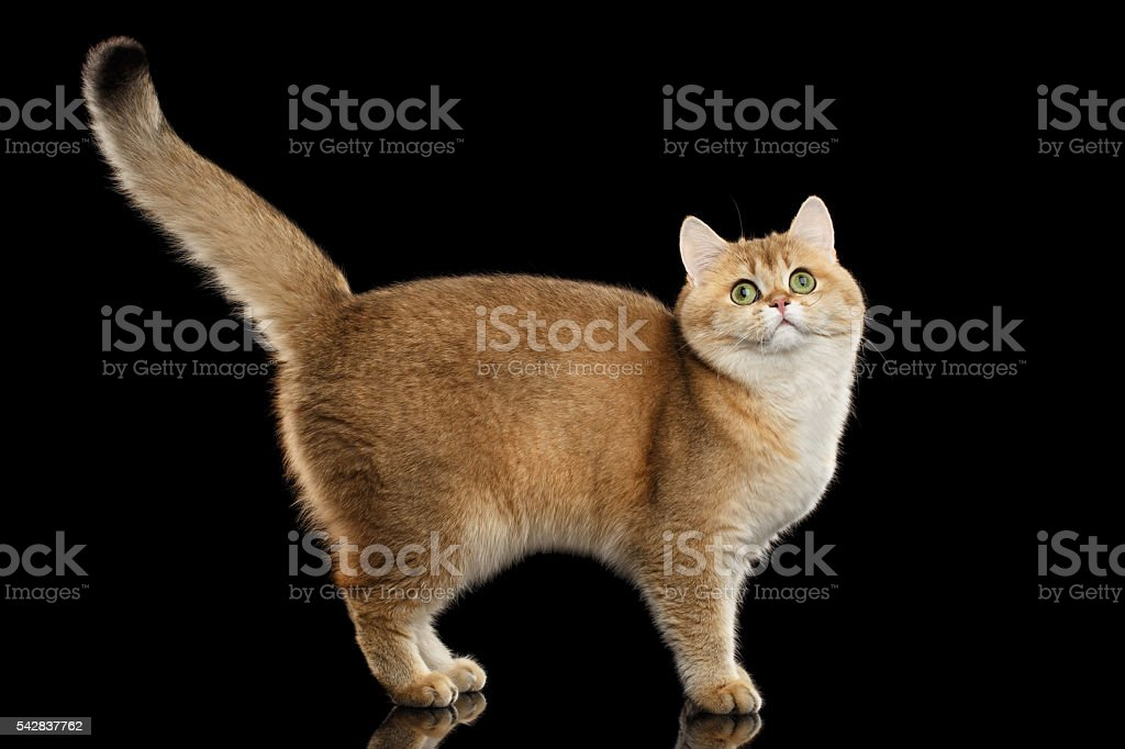 Funny British Cat Gold Chinchilla Standing, Raising up Tail, Isolated - foto de acervo