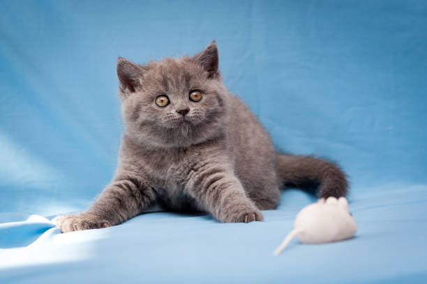 Funny British kitten blue color curiously staring at the camera stock photo
