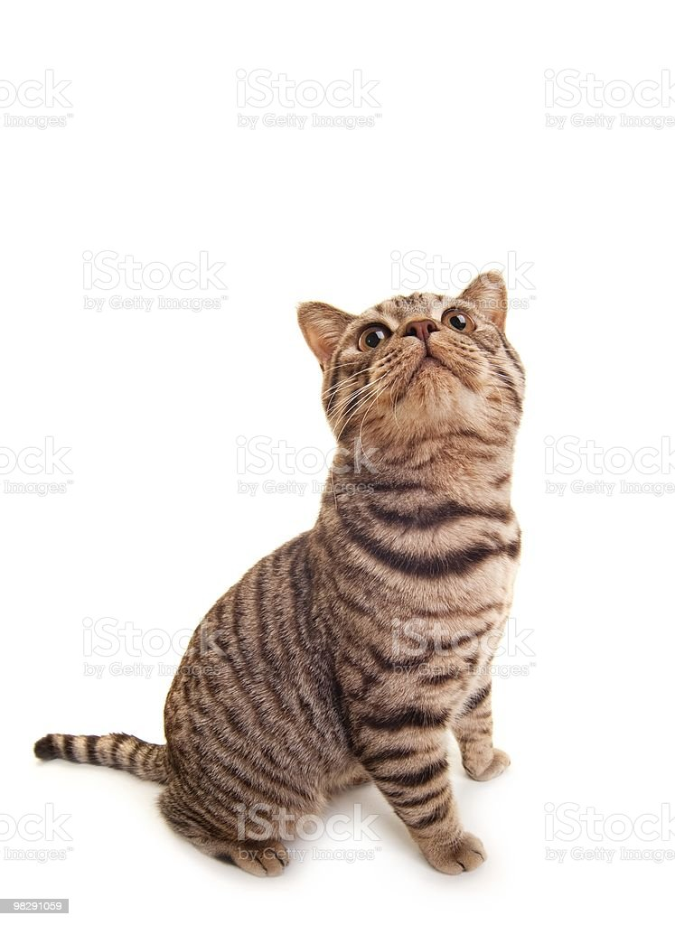Funny british kitten royalty-free stock photo