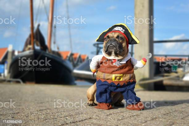 Funny brown french bulldog dog dressed up in pirate costume with hat picture id1142554243?b=1&k=6&m=1142554243&s=612x612&h=sixvf2 spsfxua4fj0g3ufbwfitlqxcaqpy2y1aom1i=