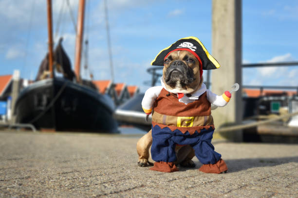 Funny brown French Bulldog dog  dressed up in pirate costume with hat and hook arm standing at harbour with boats in background dog photography costume stock pictures, royalty-free photos & images