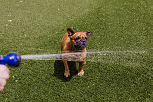funny brown french bulldog playing with the water coming from the hose at the garden. Fun outdoors and summer concept