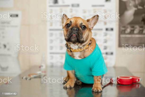 Funny brown french bulldog sits on table visit veterinarian picture id1159854182?b=1&k=6&m=1159854182&s=612x612&h= lcqysdcfqyonjamnrqtxted8yviyujuh0 p6isnsu0=