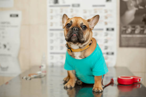 Funny brown french bulldog sits on table visit veterinarian picture id1159854182?b=1&k=6&m=1159854182&s=612x612&w=0&h=3svfyzcjekoihwnjstd0gal9s jh7xyr9mqt 6klo7o=