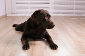 Portrait of eighteen months old chocolate labrador retriever on wood texture floor. Happy and funny brown dog relaxing at home. Close up, copy space.