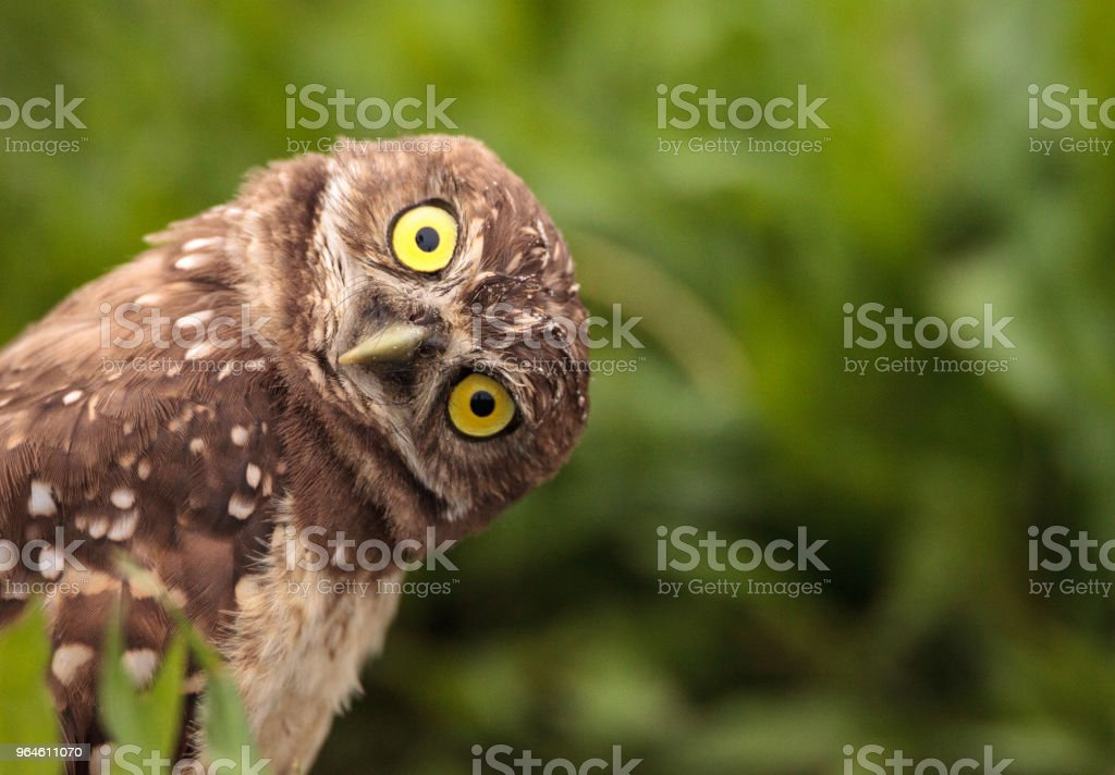 Funny Burrowing owl Athene cunicularia stock photo