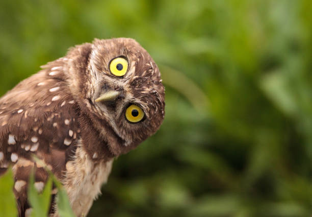 funny burrowing owl athene cunicularia - bird stock photos and pictures