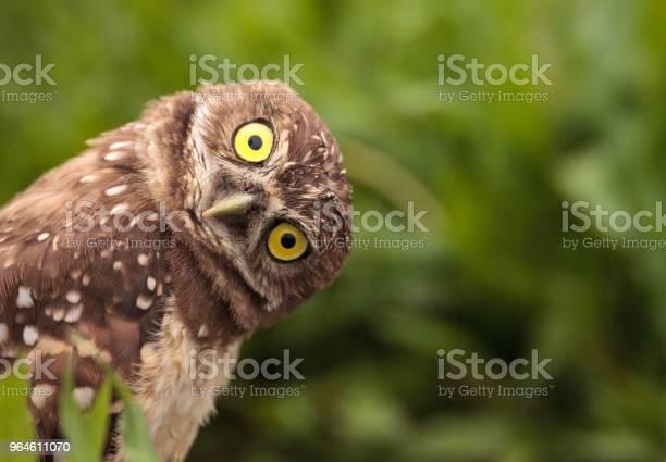 Photo of Funny Burrowing owl Athene cunicularia