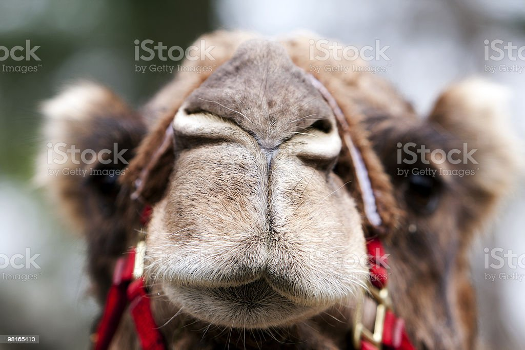 Funny camel face royalty-free stock photo