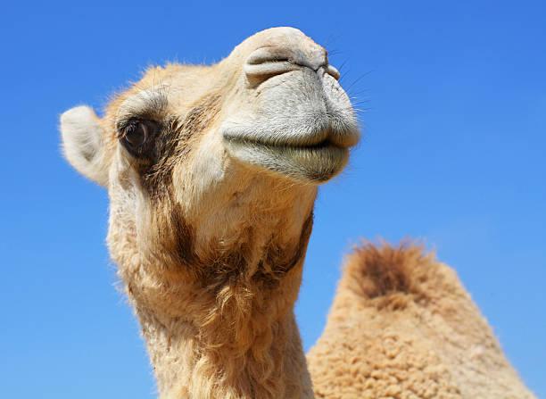 funny camello - camello fotografías e imágenes de stock