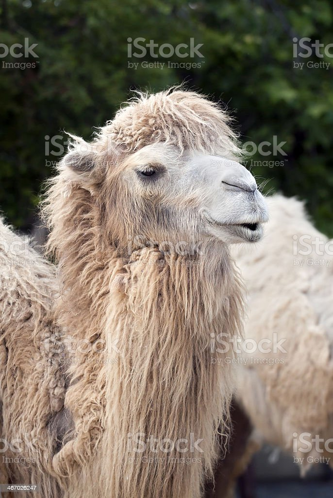 Funny camel portrait royalty-free stock photo