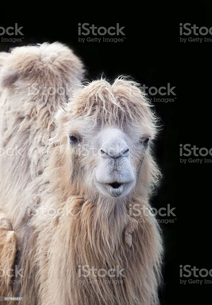 Funny camel portrait stock photo