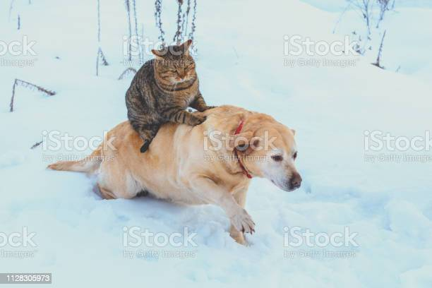 Funny cat and dog are best friends cat riding the dog outdoors in picture id1128305973?b=1&k=6&m=1128305973&s=612x612&h=tkog0lnjxbvi5eaqpmpc3pzgwkpvw9s9v8jb7xeo vm=