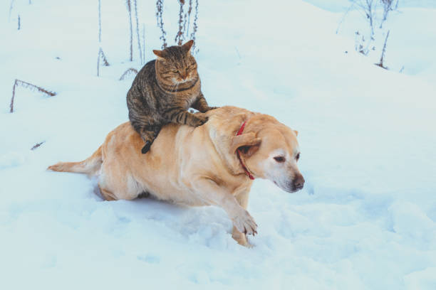 Funny cat and dog are best friends. Cat riding the dog outdoors in snowy winter Funny cat and dog are best friends. Cat riding the dog outdoors in snowy winter undomesticated cat stock pictures, royalty-free photos & images
