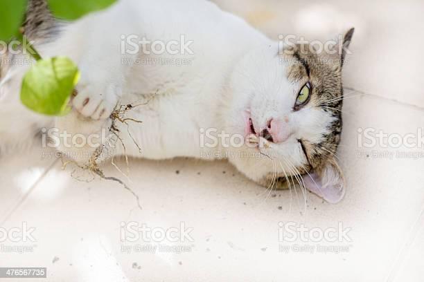 Funny cat enjoys its catmint picture id476567735?b=1&k=6&m=476567735&s=612x612&h=csmgeneipf0eowkbe7daaz6mnyjtuxzxss3jljtoytu=