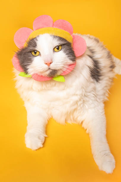 Funny Cat in Flower Hat A cute cat wearing a flower hat and posing on a yellow background. sdominick stock pictures, royalty-free photos & images