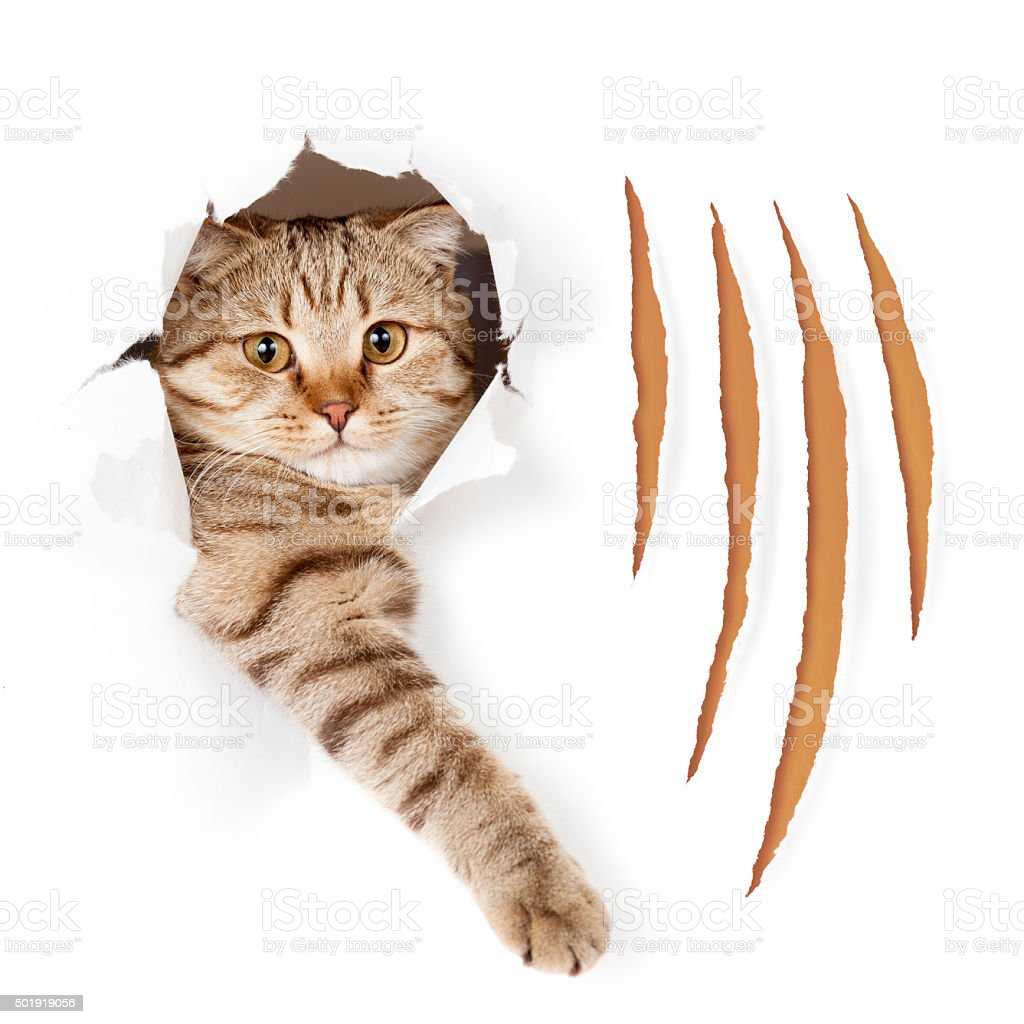 Funny cat in torn wallpaper hole with claw cuts isolated stock photo