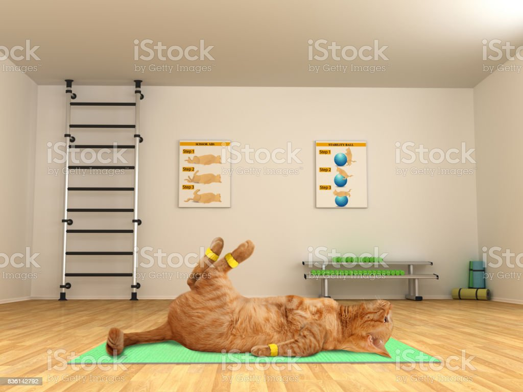 Funny cat is doing exercise - scissor crunches. Fitness club. stock photo