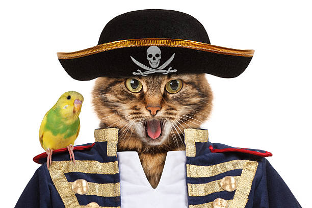 Funny cat is dressing in caribbean pirate costume. stock photo