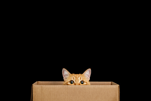 Funny red cat looking out of the box on Isolated Black background